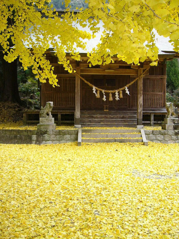 神社の境内ー銀杏の絶景
