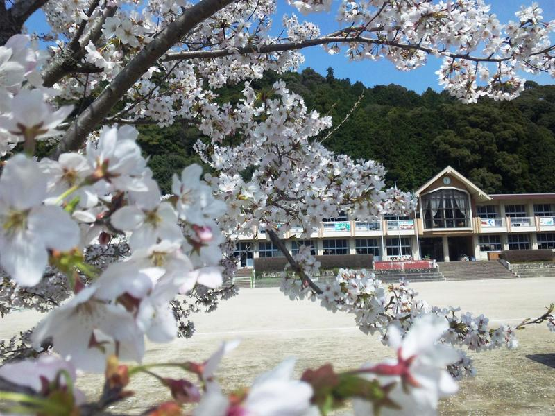 小学校と桜1